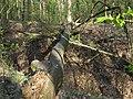 Krasnyy Khutir forest11.jpg