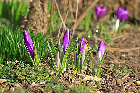purple crocuses with closed bloom