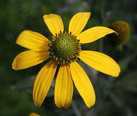 Rudbekia strapatá (lat. Rudbeckia laciniata) - kvet
