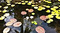 LILY POND (5-11-14) fairchild, tropical gardens, miami-dade co, fl (6) (14200495895).jpg