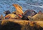 La Jolla Cove, Ca. Sea Lions (12096608573).jpg