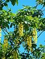 Laburnum ×watereri Kultasade kukkia VI08 C H5507.jpg