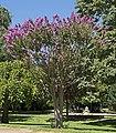 Lagerstroemia indica MHNT Jardin des Plantes de Toulouse.jpg