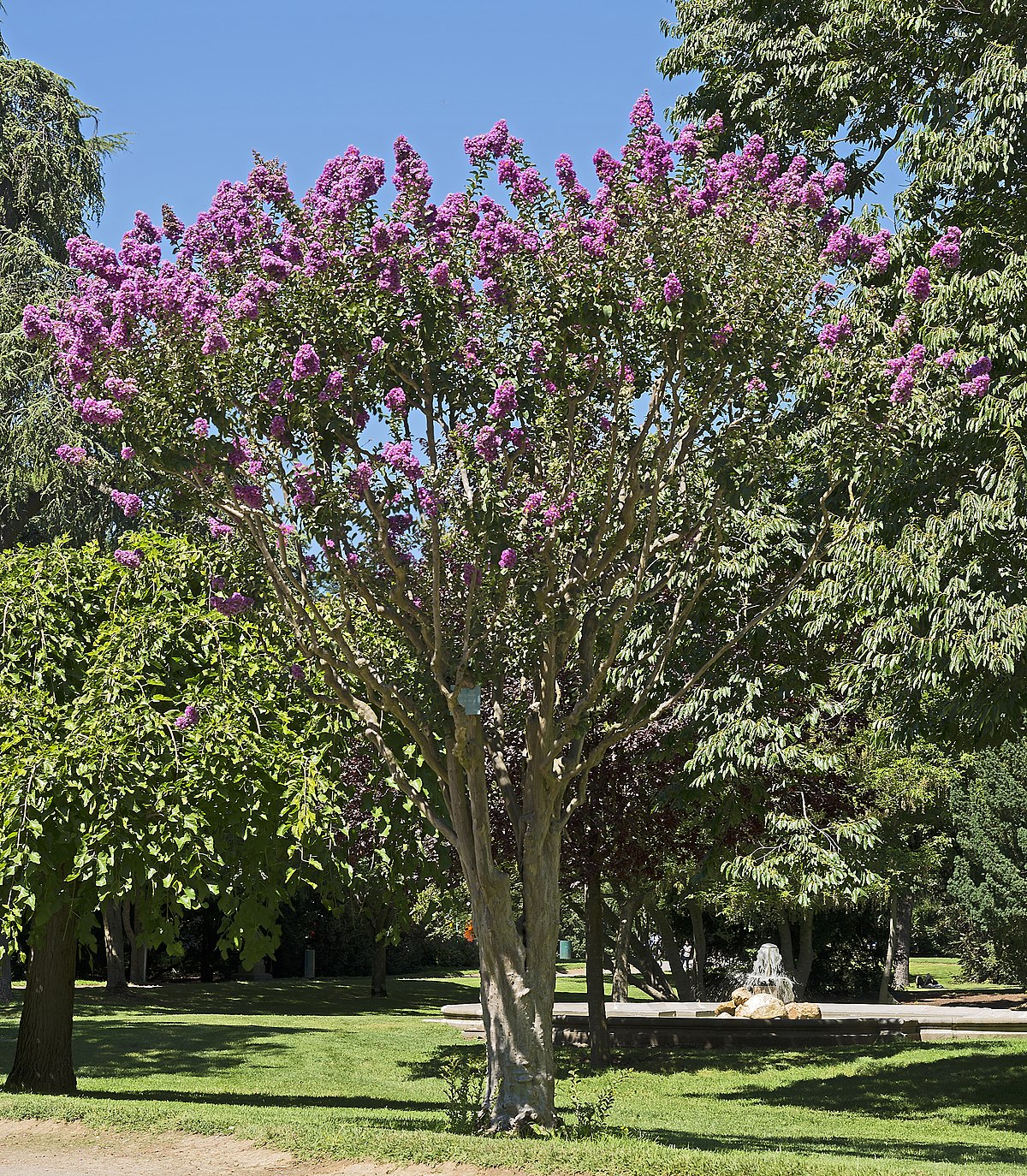 lagerstroemia indica wikipedia