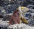Land Iguana (47801604411).jpg