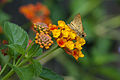 Lantana and moth.jpg