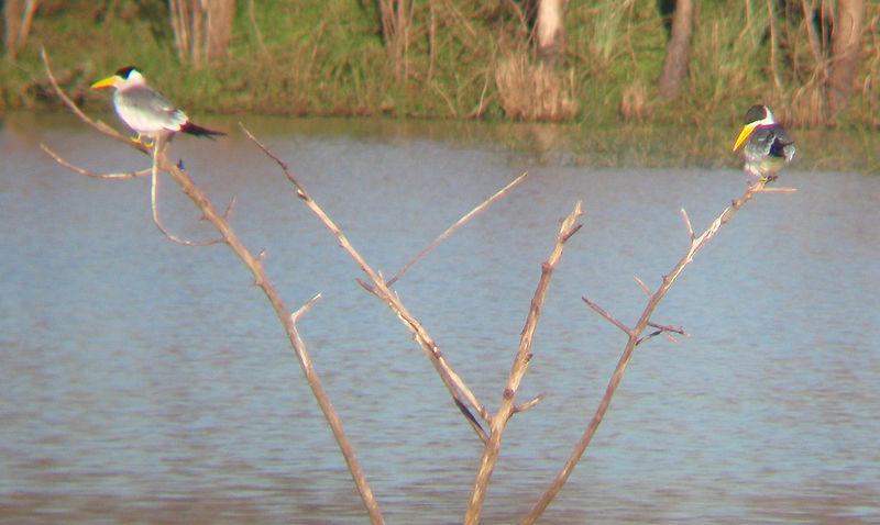 Ficheiro:Large-billed Tern.JPG