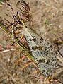 Large Ant- Lion. (Palpares libelluloides). Myrmeleonidae. Neuroptera - Flickr - gailhampshire.jpg