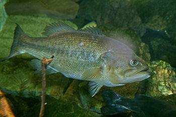 The largemouth bass (Micropterus salmoides) is...