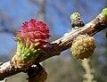Larix sibirica cones.jpg