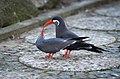 Larosterna inca (Inca Tern - Inkaseeschwalbe) Weltvogelpark Walsrode 2012-005.jpg