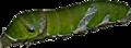 Larva of Spicebush Swallowtail(DSC 7431a).png