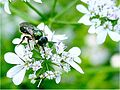 Lasioglossum flindersi.jpg