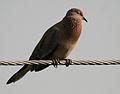 Laughing Dove (Streptopelia senegalensis) calling in AP W IMG 7925.jpg