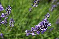 Lavender (155158931).jpeg