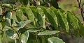 Leaves I IMG 3381.jpg