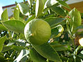 Lemon, green, DSCF2775.jpg