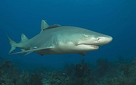 Lemon shark2.jpg