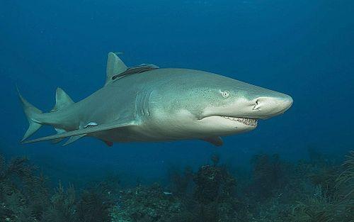 500px Lemon shark2