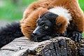 Lemur (36445980592).jpg