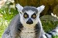 Lemur (40776324974).jpg
