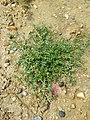 Lepidium squamatum sl95.jpg