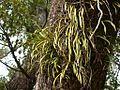 Lepisorus thunbergiana nokisinobu.jpg