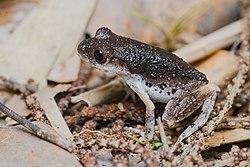 Leptobrachella fuliginosa, Dusty litter toad - Kui Buri National Park (48006892476).jpg