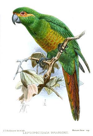 Cauca Valley montane forests - Golden-plumed parakeet (Leptosittaca branickii)
