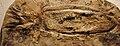 Leptoteuthis gigas.JPG