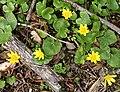 Lesser Celandine (Ranunculus ficaria) - geograph.org.uk - 776501.jpg