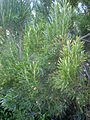 Leucadendron meridianum 1c.JPG