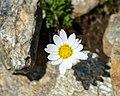 Leucanthemopsis alpina Ankogel 01.jpg