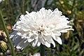 Leucanthemum x superbum Summer Snowball 0zz.jpg