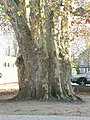 Leuven Weggevoerdenstraat Bundelboom 1 - 182970 - onroerenderfgoed.jpg