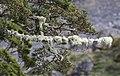 Lichen Covered Trees 1 (30791376924).jpg