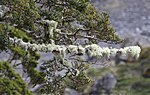 Lichen Covered Trees 1 (30791376924).jpg