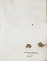 Lichenes Helvetici IX X 1833 022.jpg