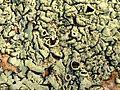 Lichens on a Boulder - Flickr - treegrow (4).jpg