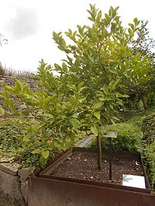 David attenborough wikipedia la enciclopedia libre for Limonero sin limones
