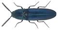 Limoniscus violaceus (P.W.J. Mueller, 1821) (26036848766).png