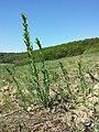 Linaria genistifolia (subsp. genistifolia) sl40.jpg
