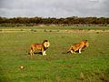 Lion Kings (2743998524).jpg
