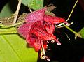 Lipstick Plant (Aeschynanthus tricolor) (15456266796).jpg