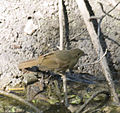 Little Greenbul (Andropadus virens) near water.jpg