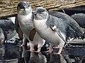 Little penguins 05.jpg