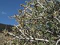 Littleleaf mountain mahogany, Cercocarpus intricatus (16100335186).jpg