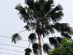 Livistonia Rotundifolia.jpg