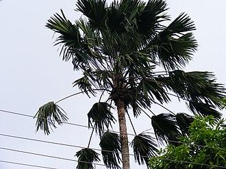 Saribus rotundifolius - Saribus rotundifolius in Kolkata, India