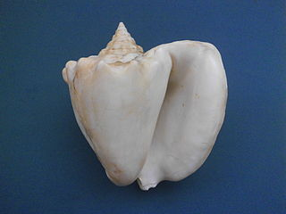 <i>Lobatus costatus</i> species of mollusc